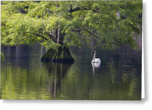 Swans... Greeting Cards - Swan and Cypress tree Greeting Card by Terry Shoemaker