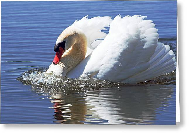 Water Fowl Greeting Cards - Swan bubbles Greeting Card by Cheryl Cencich