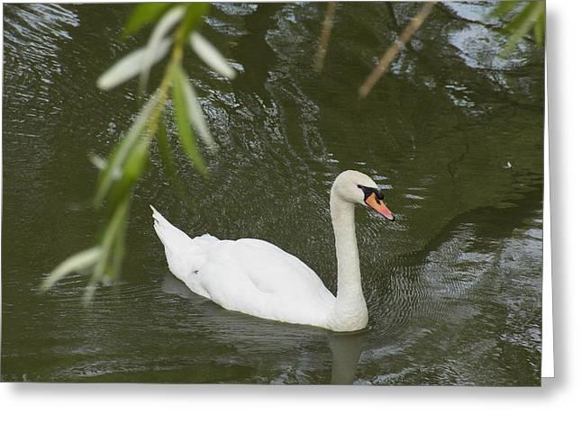 St Elizabeth Greeting Cards - Swan Enjoying a Swim Greeting Card by Corinne Elizabeth Cowherd