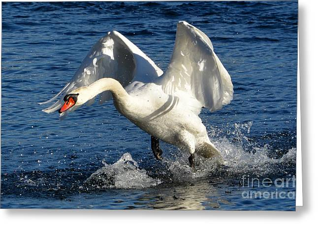 Take Action Greeting Cards - Swan in action Greeting Card by Mats Silvan