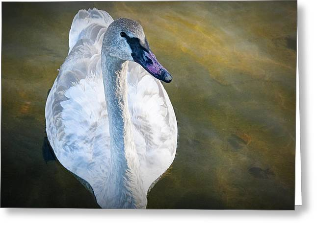Water Fowl Greeting Cards - Swan on Evergreen Lake Greeting Card by Randall Nyhof