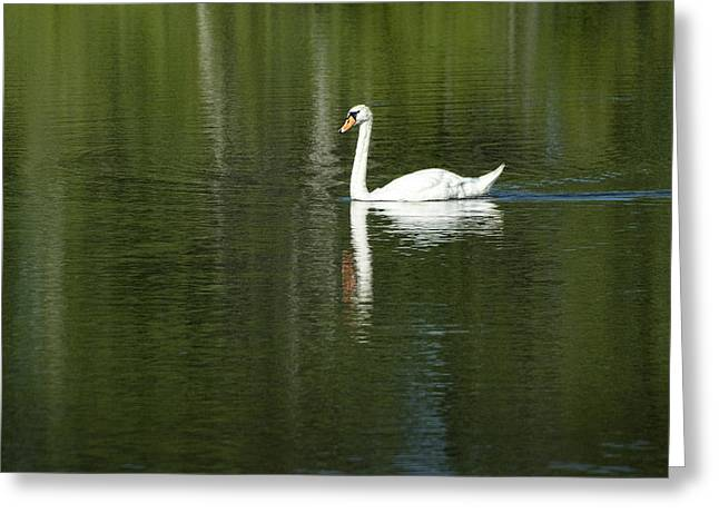 Water Fowl Greeting Cards - Swan on Wintergreen Lake Greeting Card by Randall Nyhof
