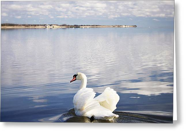 Swan Song Greeting Card by Vicki Jauron
