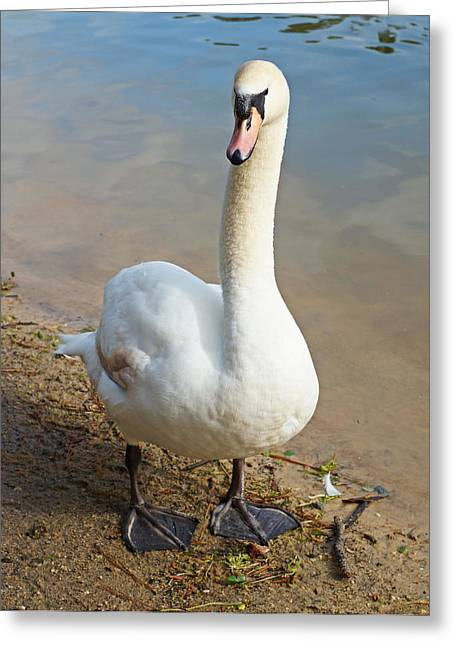 Swans... Greeting Cards - Swan Standing Pretty Greeting Card by Carmen Del Valle