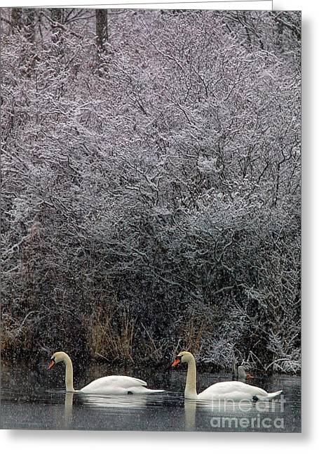 Swans At Mill Pond Yarmouth On Cape Cod Greeting Card by Matt Suess