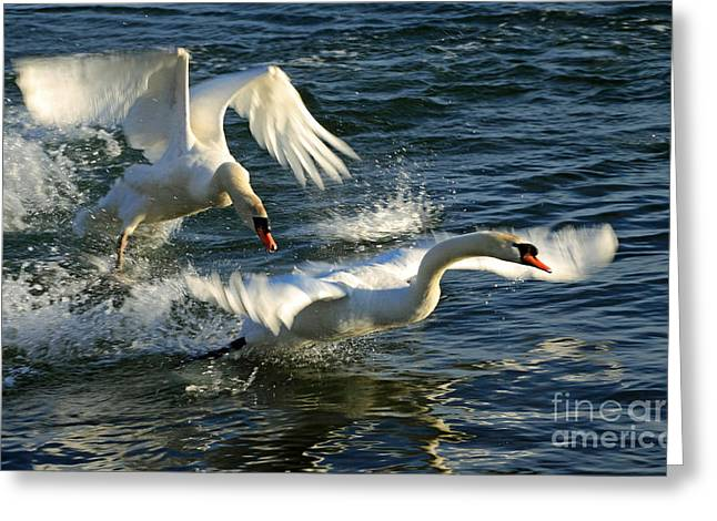 Mute Swan Greeting Cards - Swans at War Greeting Card by Charline Xia