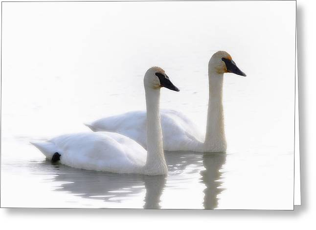 Synchronicity Greeting Cards - Swans Bathed In Light Swimming Greeting Card by Robert Postma