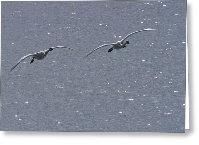 Synchronicity Greeting Cards - Swans Coming In For A Landing, Tagish Greeting Card by Robert Postma