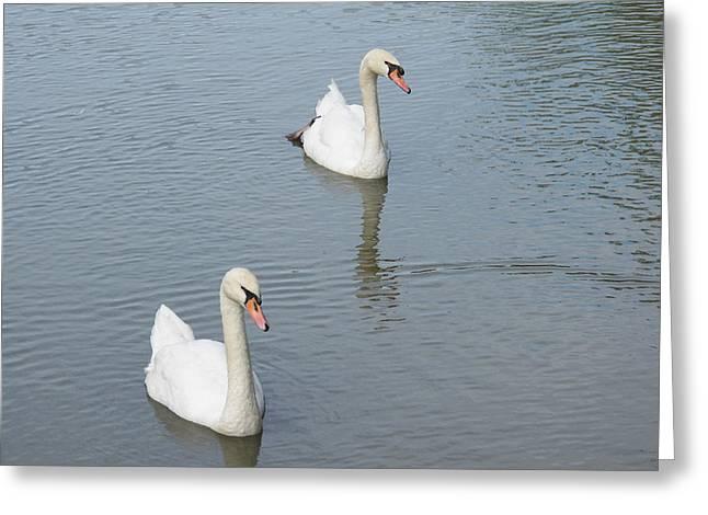 Swans Drifting Along Greeting Card by Corinne Elizabeth Cowherd