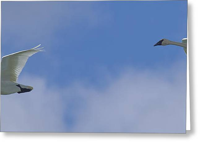 Pairs Greeting Cards - Swans Flying In Formation, Yukon Greeting Card by Robert Postma