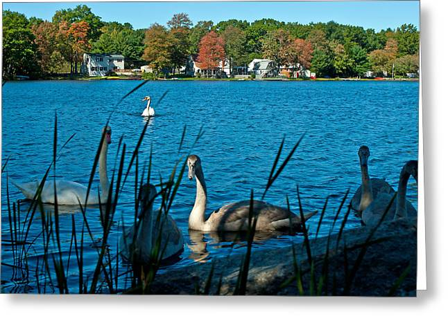Birds Pyrography Greeting Cards - Swans in Autumn Lake Greeting Card by Frank Garciarubio
