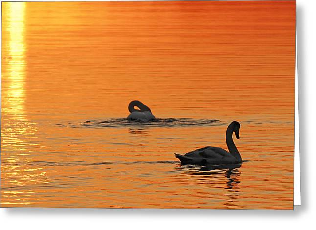 Swans At Dawn Greeting Cards - Swans in Early Light  Greeting Card by Randall Branham