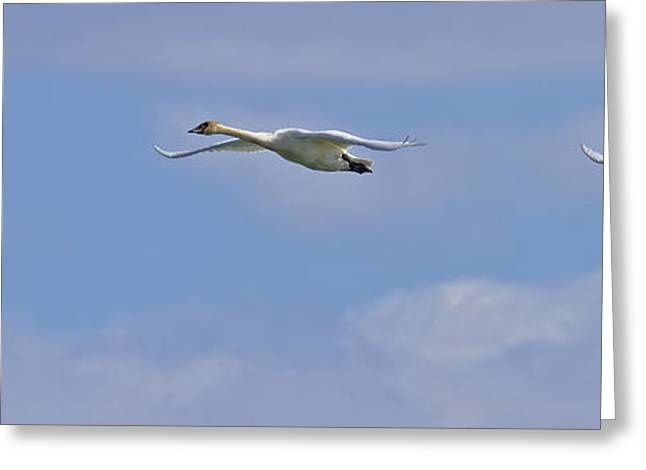Swans... Greeting Cards - Swans In Flight, Yukon Greeting Card by Robert Postma