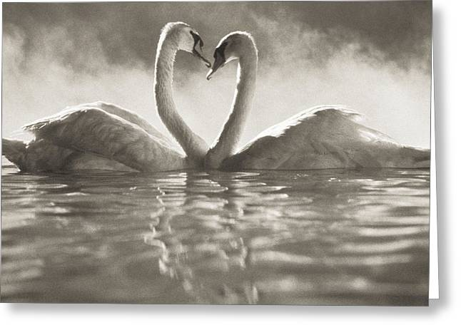 Pairs Greeting Cards - Swans in Lake Greeting Card by Brent Black - Printscapes