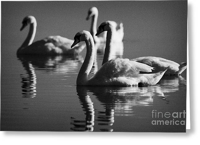 Neagh Greeting Cards - Swans Swimming On A Lake Greeting Card by Joe Fox