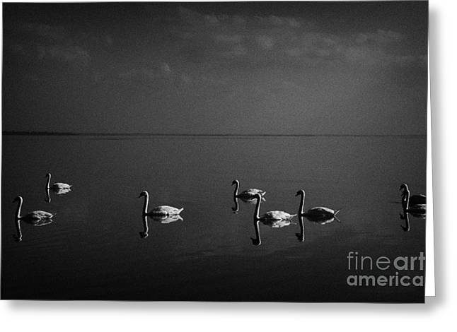 Neagh Greeting Cards - Swans Swimming On Lough Neagh Northern Ireland Greeting Card by Joe Fox