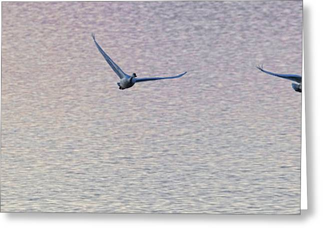 Swans... Greeting Cards - Swans Taking Off From Tagish River Greeting Card by Robert Postma