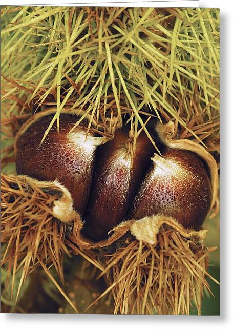 3 October Greeting Cards - Sweet Chestnuts Greeting Card by Colin Varndell