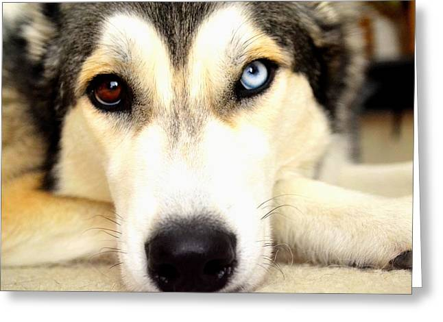 Husky Greeting Cards - Sweet Face Greeting Card by Gina Widdows