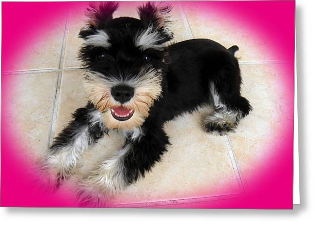 Domestic Pets Greeting Cards - Sweet Little Schnauzer Greeting Card by Tisha McGee