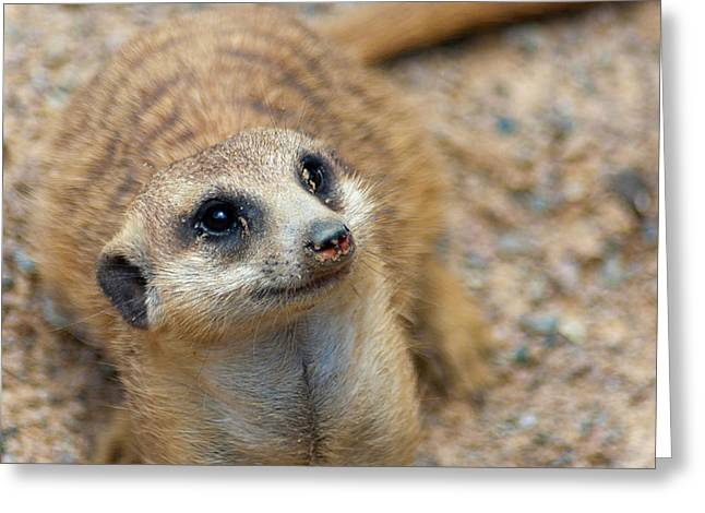 Sweet Meerkat Face Greeting Card by Carolyn Marshall