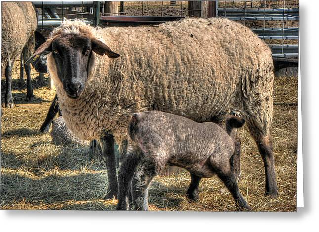Ovine Greeting Cards - Sweet My Child Greeting Card by William Fields
