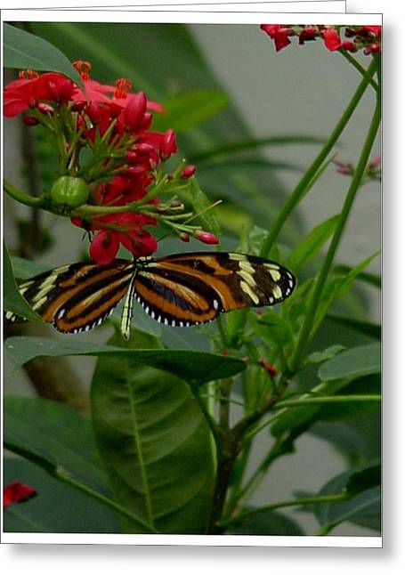 Butterlfy Greeting Cards - Sweet Nectar Greeting Card by Frank Wickham