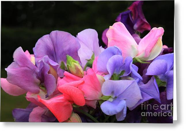 Pink Sweet Peas Greeting Cards - Sweet Pea Floral Greeting Card by Marjorie Imbeau