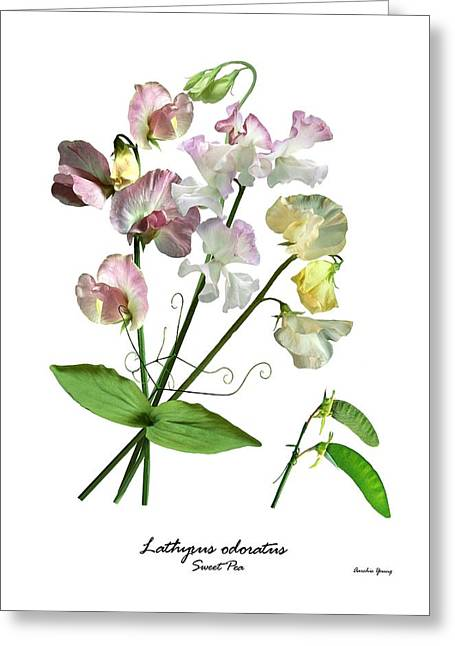 Pink Sweet Peas Greeting Cards - Sweet Pea (lathyrus Odorata) Greeting Card by Archie Young
