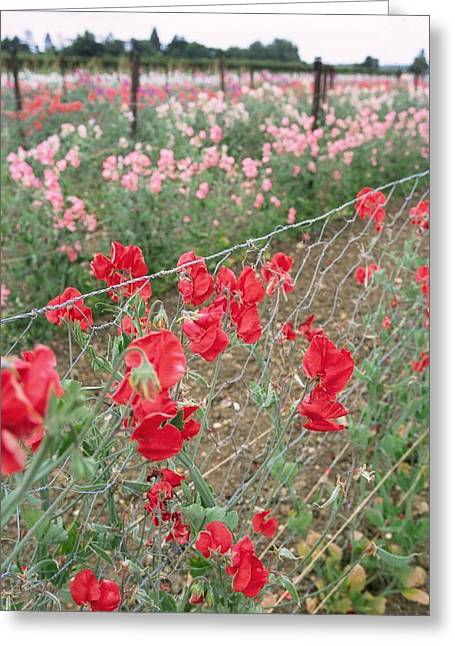 Pink Sweet Peas Greeting Cards - Sweet Pea (lathyrus Odoratus) Greeting Card by Jon Stokes