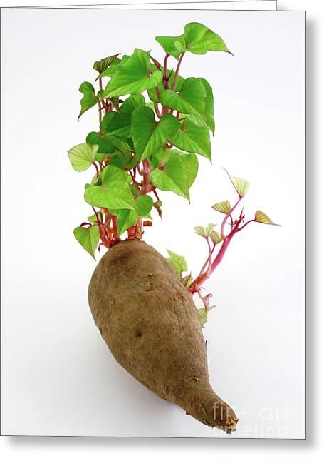 Potato Greeting Cards - Sweet potato Greeting Card by Gaspar Avila