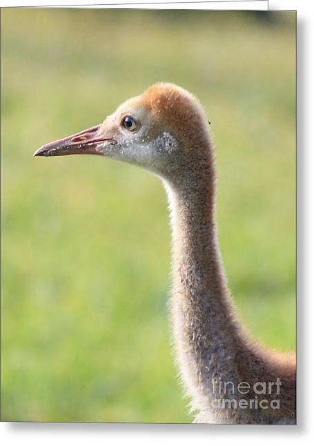 Sandhill Crane Chicks Greeting Cards - Sweet Sandhill Face Greeting Card by Carol Groenen