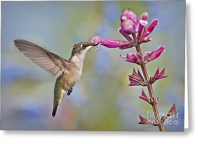 Sunbird Greeting Cards - Sweet Greeting Card by Susan Candelario