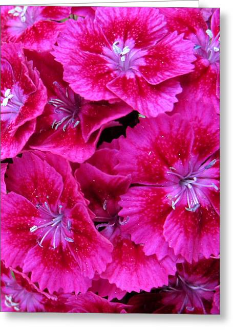 Development Greeting Cards - Sweet William Greeting Card by Leon Zernitsky