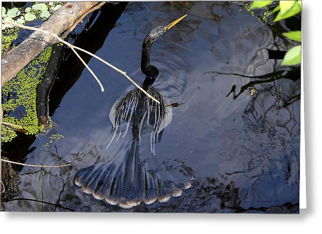 Anhinga Greeting Cards - Swimming bird Greeting Card by David Lee Thompson