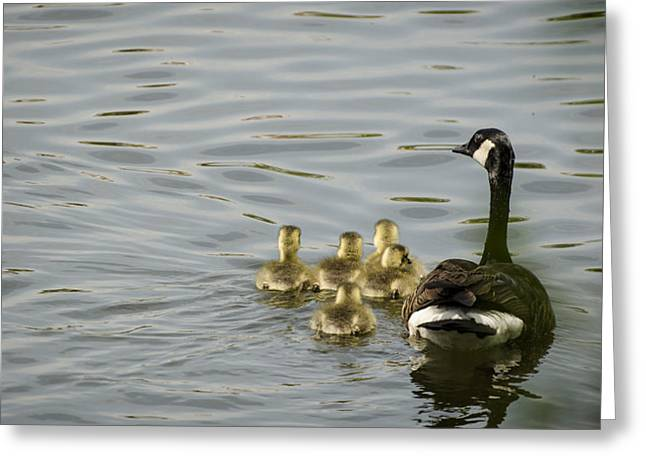 Ducklings Greeting Cards - Swimming Lessons Greeting Card by Heather Applegate