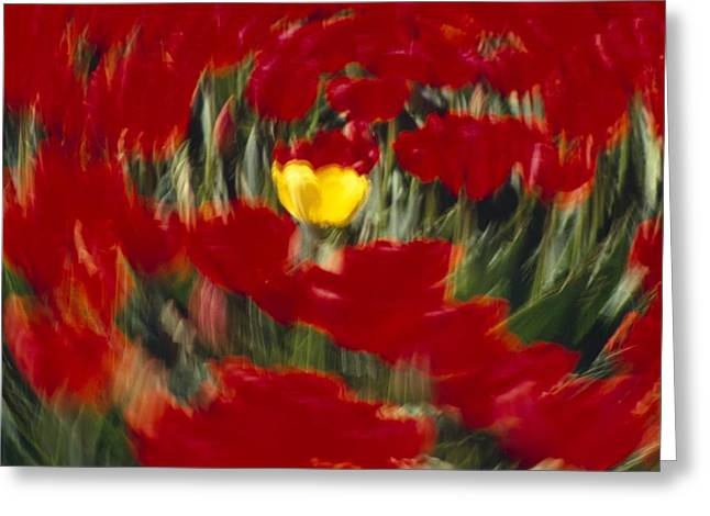 Woodburn Greeting Cards - Swirling View Of Blooming Tulip Flowers Greeting Card by Natural Selection Craig Tuttle