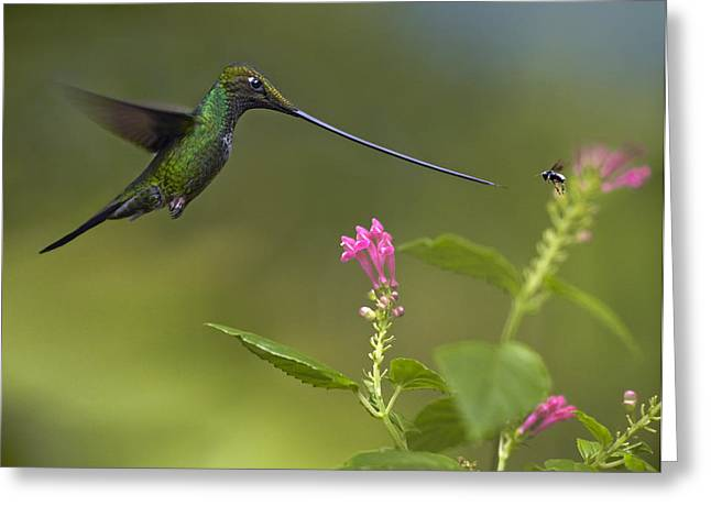 Animals And Insects Greeting Cards - Sword Billed Hummingbird And Insect Greeting Card by Tim Fitzharris