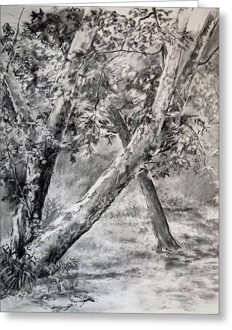 Park Scene Drawings Greeting Cards - Sycamore Tree in Goliad State Park Greeting Card by Karen Boudreaux