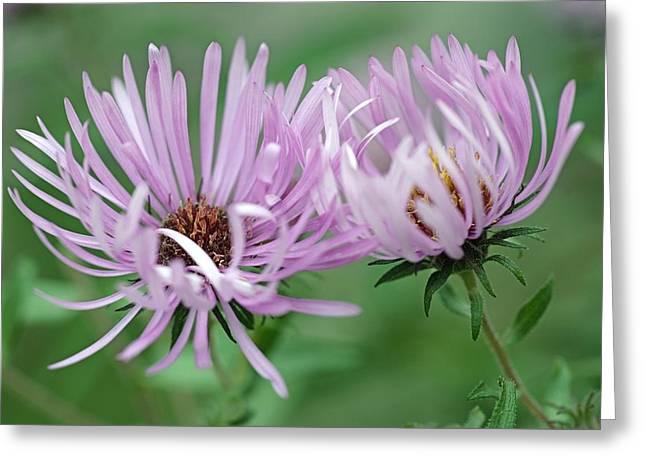 Symphyotrichum Novae-angliae Greeting Cards - Symphyotrichum Novae-angliae Greeting Card by Dr. Nick Kurzenko