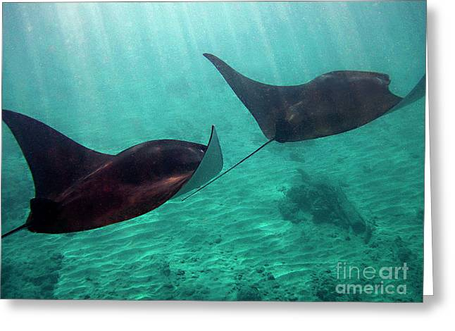 Manta Rays Greeting Cards - Synchronized Swimming Greeting Card by Bette Phelan