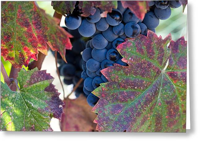 Syrah Photographs Greeting Cards - Syrah Grapes With Autumn Leaves Greeting Card by Dina Calvarese