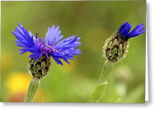 Syrian Greeting Cards - Syrian Cornflower-thistle Flowers Greeting Card by Photostock-israel