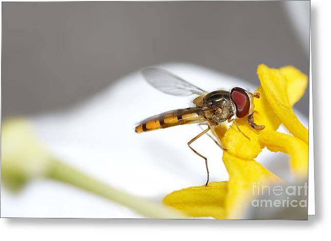 Diptera Greeting Cards - Syrphyd Fly Greeting Card by Michal Boubin