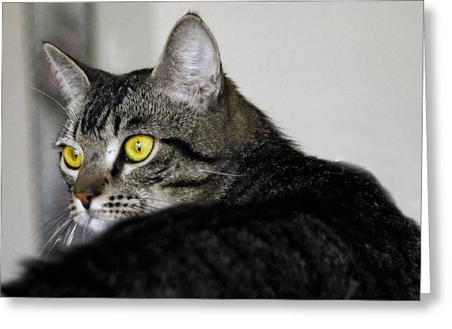 Cat Art Greeting Cards - Tabby Greeting Card by Craig Incardone