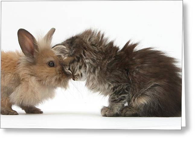 House Pet Greeting Cards - Tabby Kitten And Young Rabbit Greeting Card by Mark Taylor