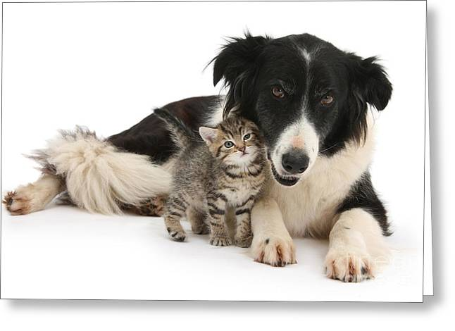 Rubbing Greeting Cards - Tabby Kitten Nuzzling Border Collie Greeting Card by Mark Taylor