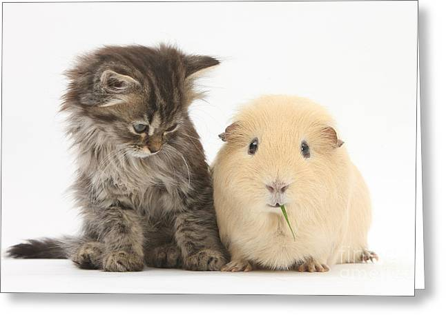 Cavy Greeting Cards - Tabby Kitten With Yellow Guinea Pig Greeting Card by Mark Taylor