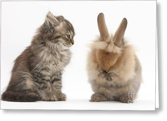 House Pet Greeting Cards - Tabby Kitten With Young Rabbit, Grooming Greeting Card by Mark Taylor