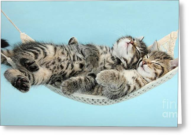 Animals Love Greeting Cards - Tabby Kittens Cuddling In Hammock Greeting Card by Mark Taylor
